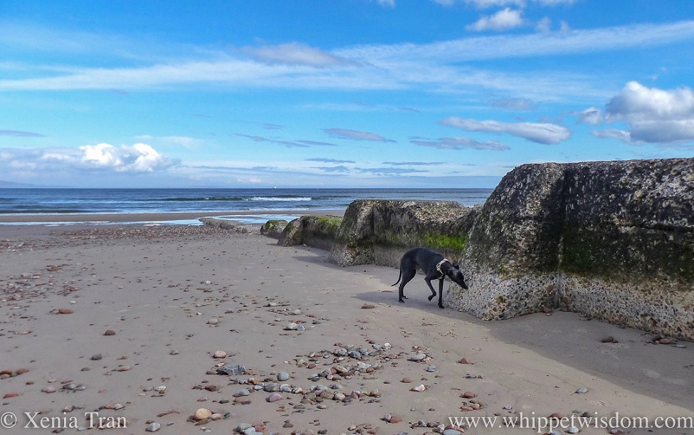 a black whippet sniffing a seaweed covered breakwater on tidal sands