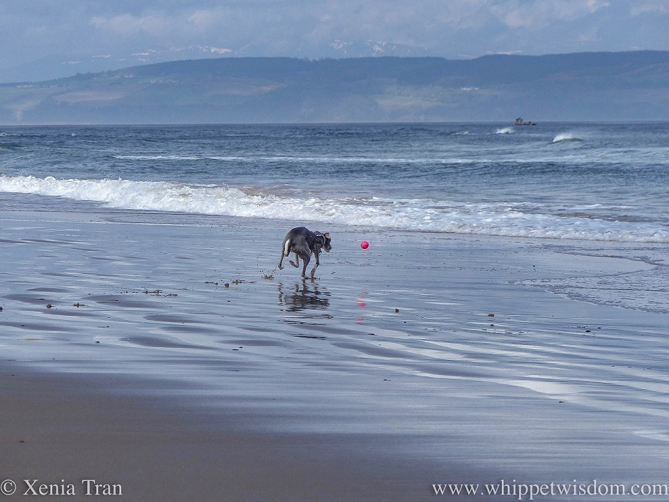 a blue and white whippet chasing a pink ball on the beach