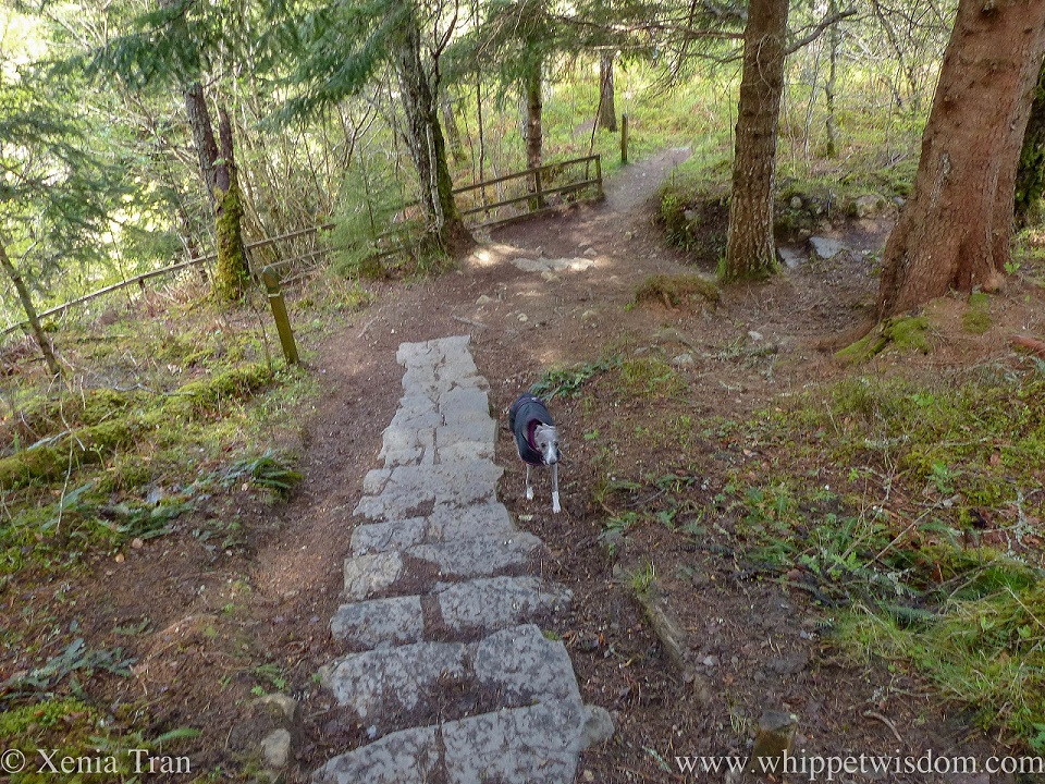 a blue and white whippet in a black jacket climbing a hill on a forest trail