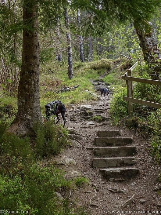 two whippets in black jackets on a forest trail with stone steps and exposed tree roots