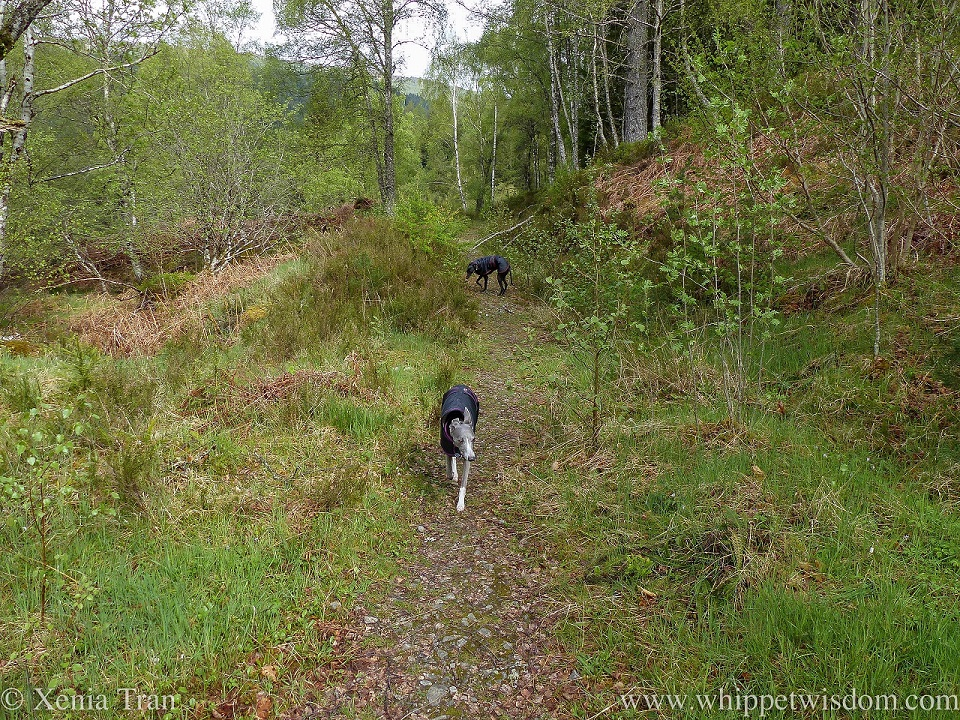 a black whippet turning on a forest trail and a blue and white whippet walking towards the camera, both wearing black jackets