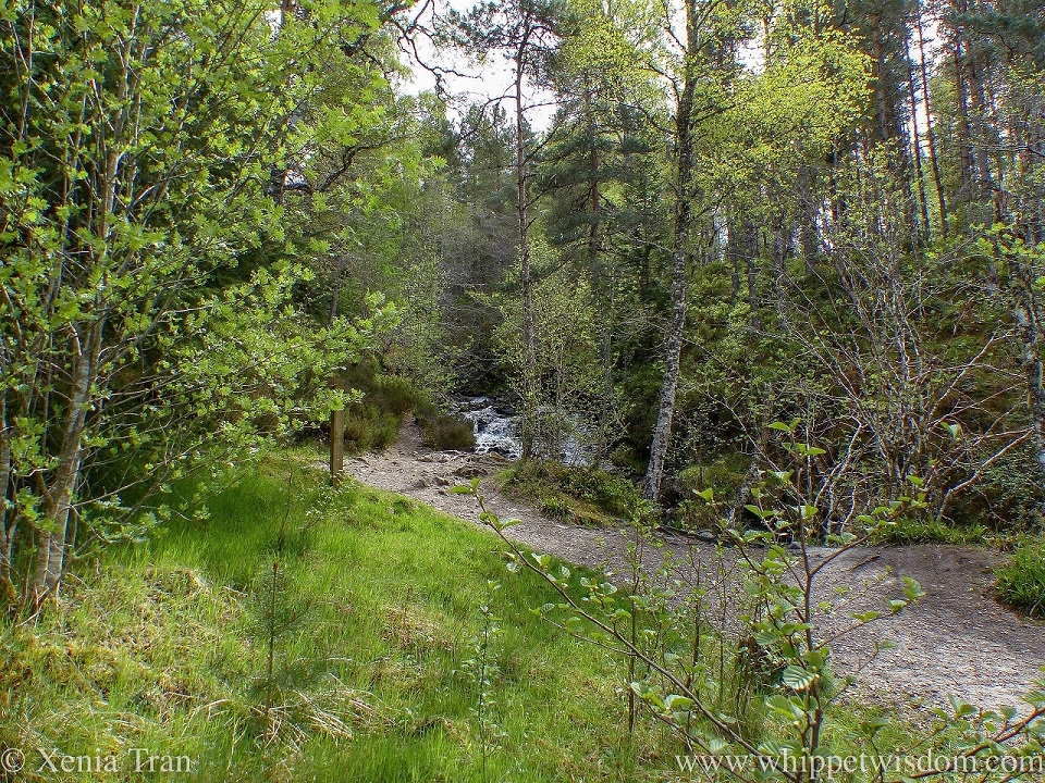 a cascading stream beside a forest trail with young green leaves on the birch trees