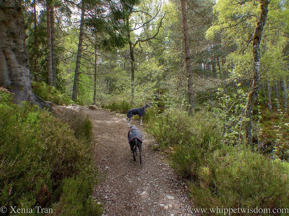 two whippets in black jackets on a forest trail with green heather and spring leaves