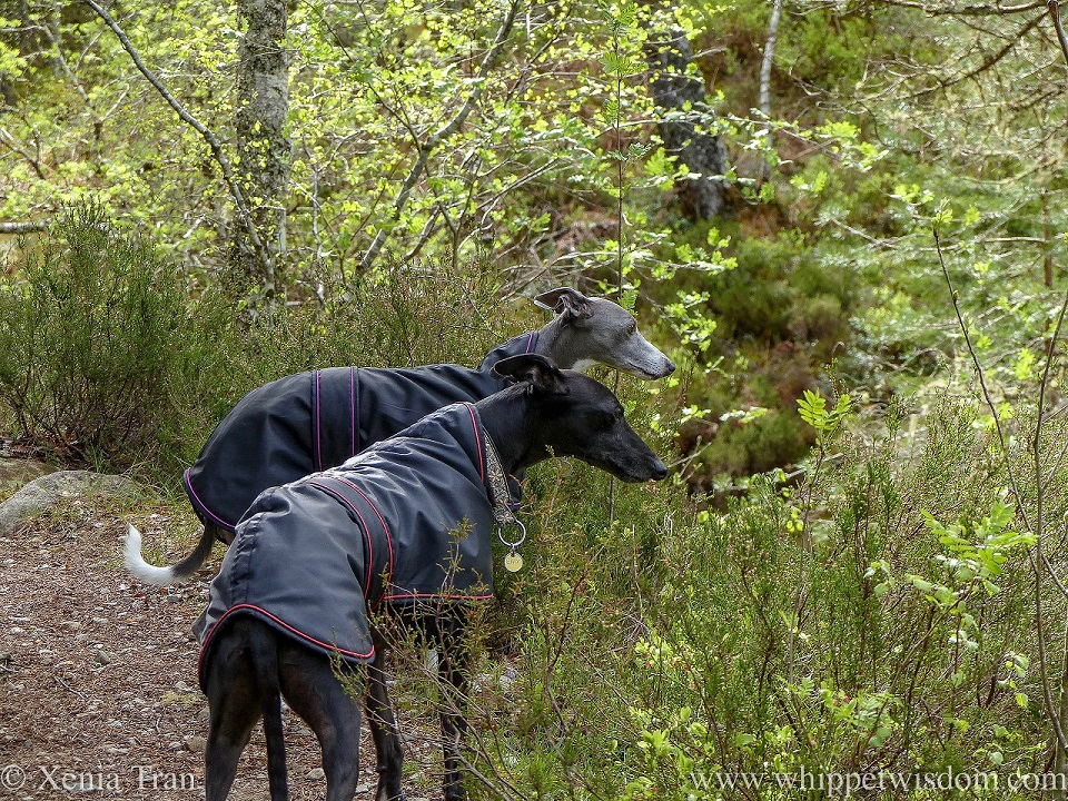 two whippets in black jackets on a forest trail looking down onto a burn between the trees
