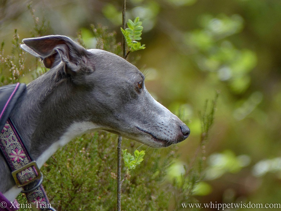 close up profile shot of a blue and white whippet with a pink and white collar and black jacket in the forest