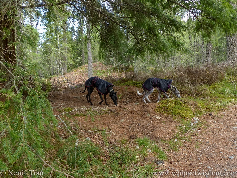 two whippets in black winter jackets sniffing the moss underneath a Douglas fir tree on a forest trail