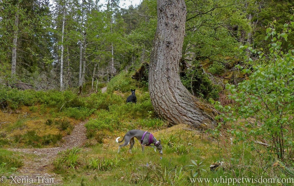 two whippets on a forest trail beside the large curving trunk of an ancient pine tree