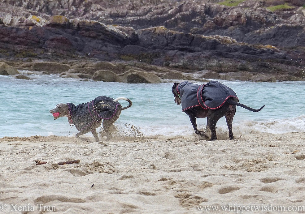 two whippets in black jackets running on the beach in deep sand