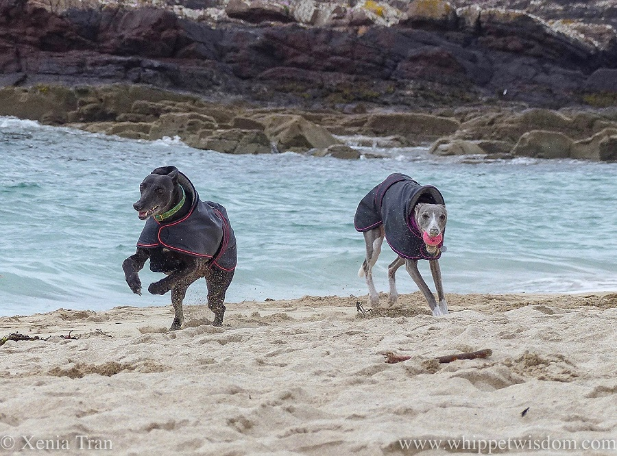 a smiling black whippet and a blue and white whippet with a pink ball in her mouth running towards the camera on the beach