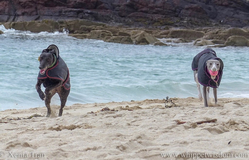 a smiling black whippet in a black jacket leaping across the beach and a blue and white whippet in a black jacket with a pink ball in her mouth running through the deep sand in front of the turquoise waves