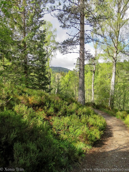 a forest trail in spring with green heather and young leaves on birch trees