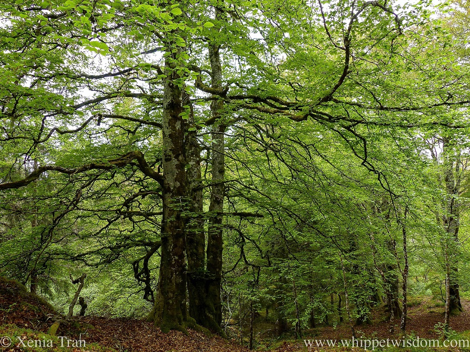 A large mature beech tree in full leaf, branches extending wide across the forest floor