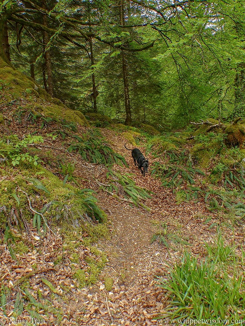 a black whippet running on a forest trail covered in autumn leaves with the trees in full green leaf