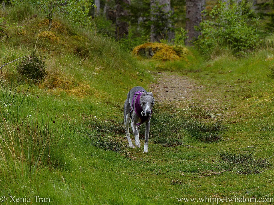 a blue and white whippet walking on a forest trail with moss and grass
