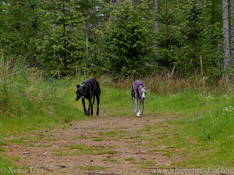 two whippets walking side by side on a forest trail