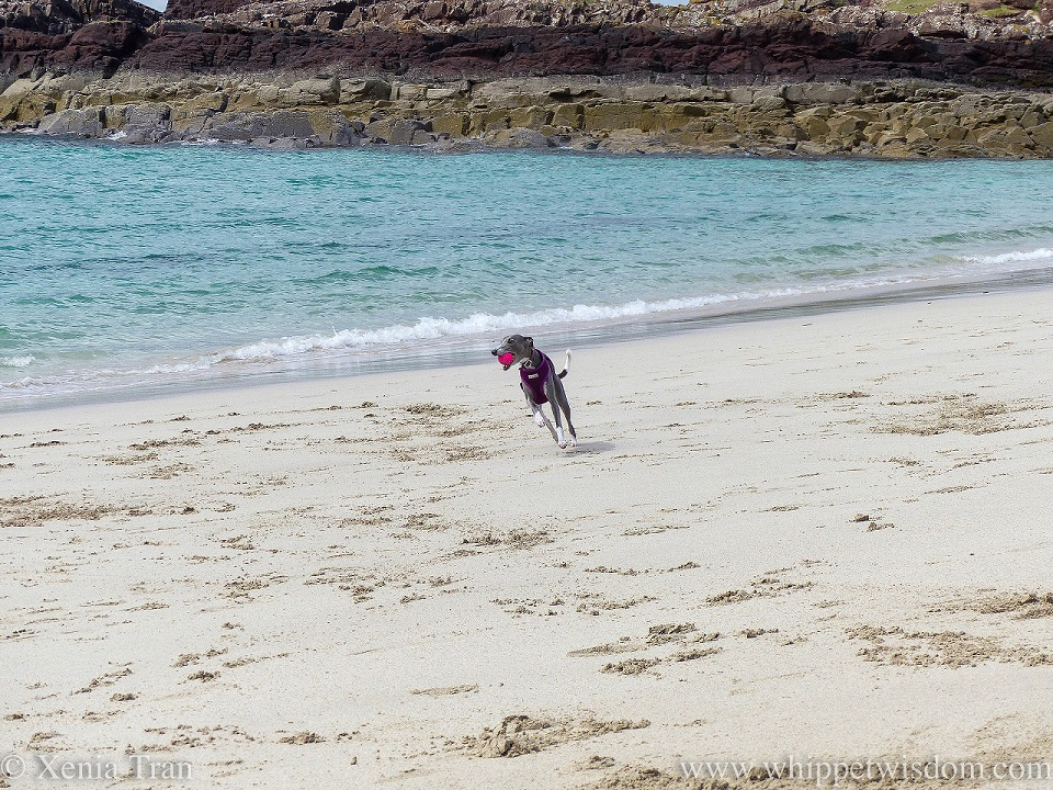 blue and white whippet in a purple harness running with a pink ball in her mouth beside the gentle surf