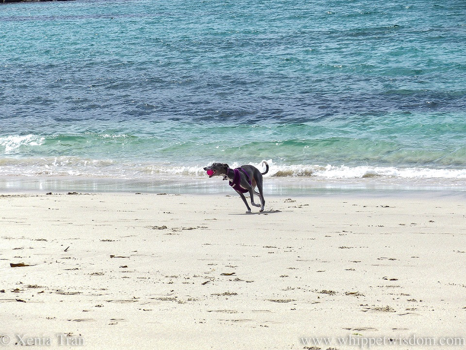 a blue and white whippet running on the beach with a pink ball