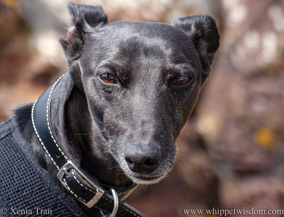 close up portrait of black whippet looking straight at the camera