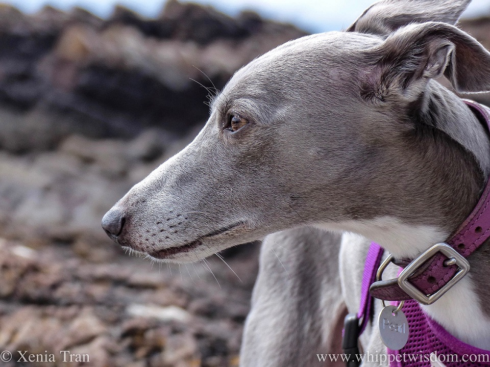 profile shot of a blue and white whippet with a purple collar and harness standing on rocky outcrops