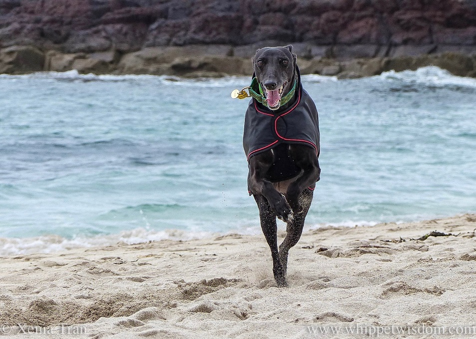 a smiling whippet in a black jacket leaping across the beach in front of a choppy turquoise sea