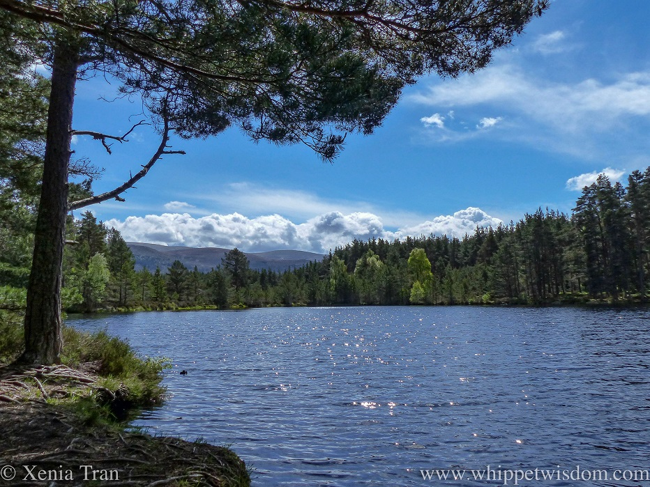 a glittering lochan in Inshriach Forest under a blue sky with cotton wool clouds