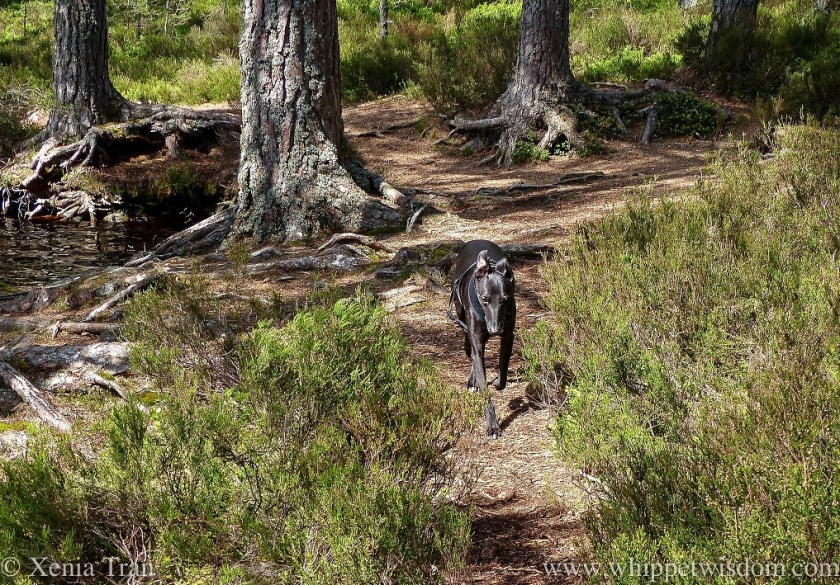 a black whippet with a shiny silky coat running between the heather on a forest trail beside a loch