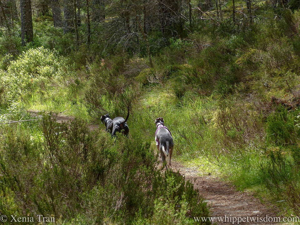 a blue and white whippet following a black whippet along a forest trail in dappled light