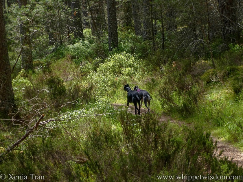 two whippets running side by side on a forest trail in dappled light