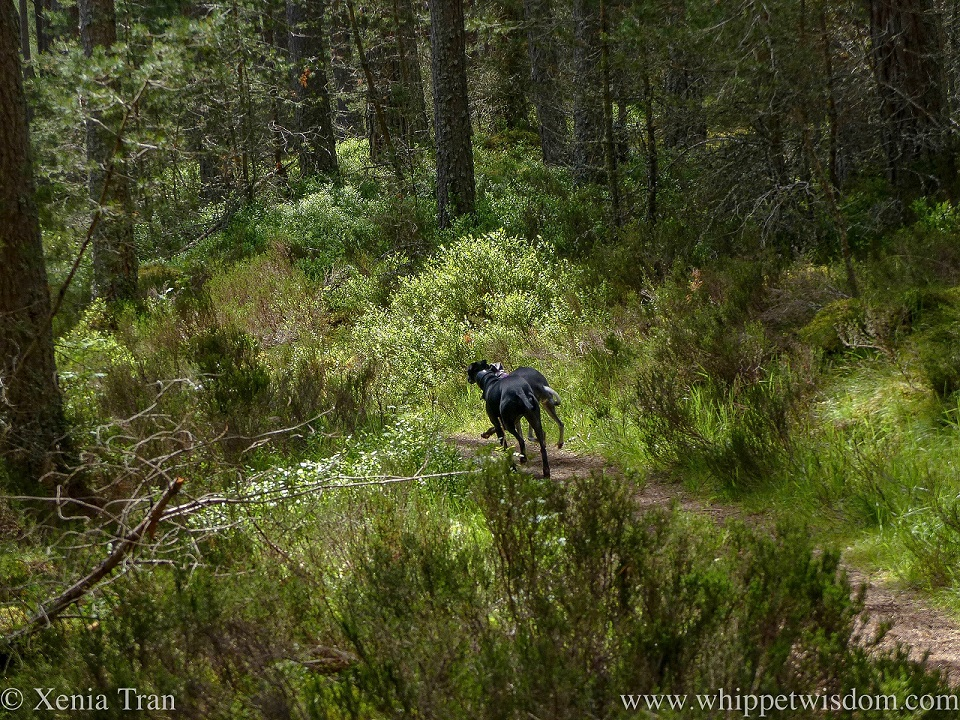 two whippets with silky coats disappearing down a forest trail