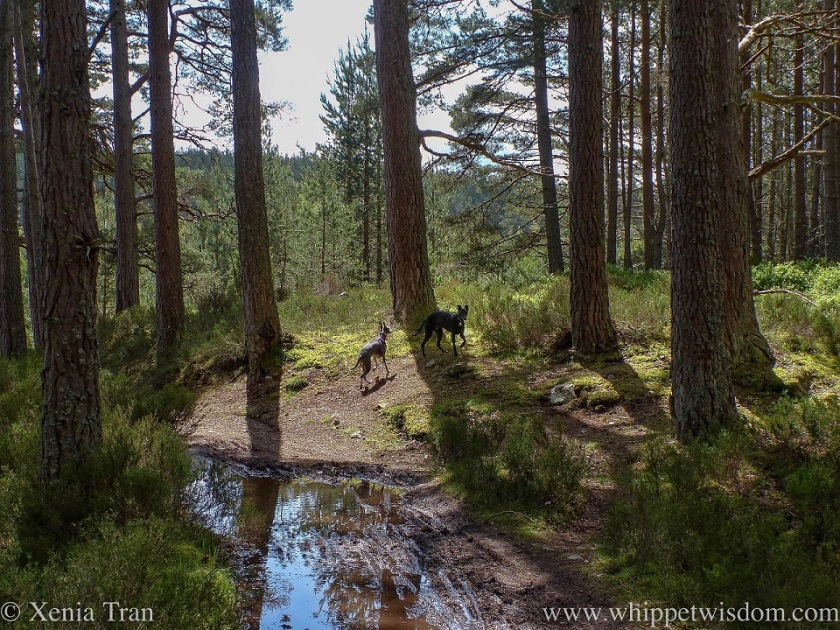 a blue and white whippet and a black whippet playing in a forest