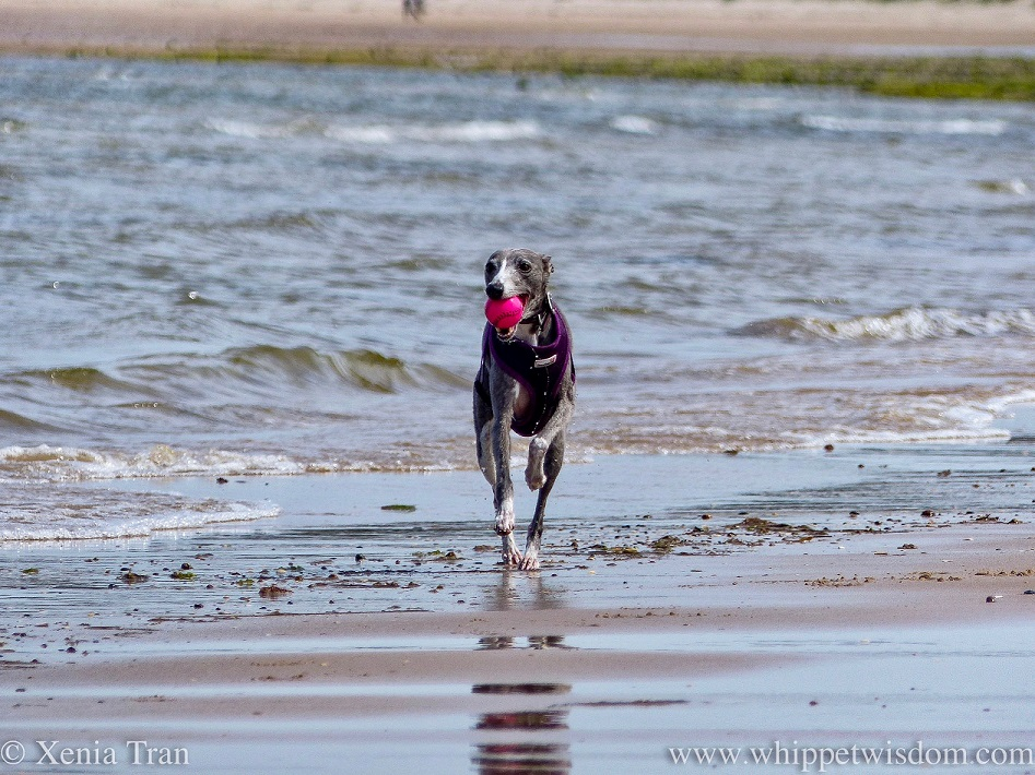 a blue and white whippet running beside the surf with a pink ball in her mouth