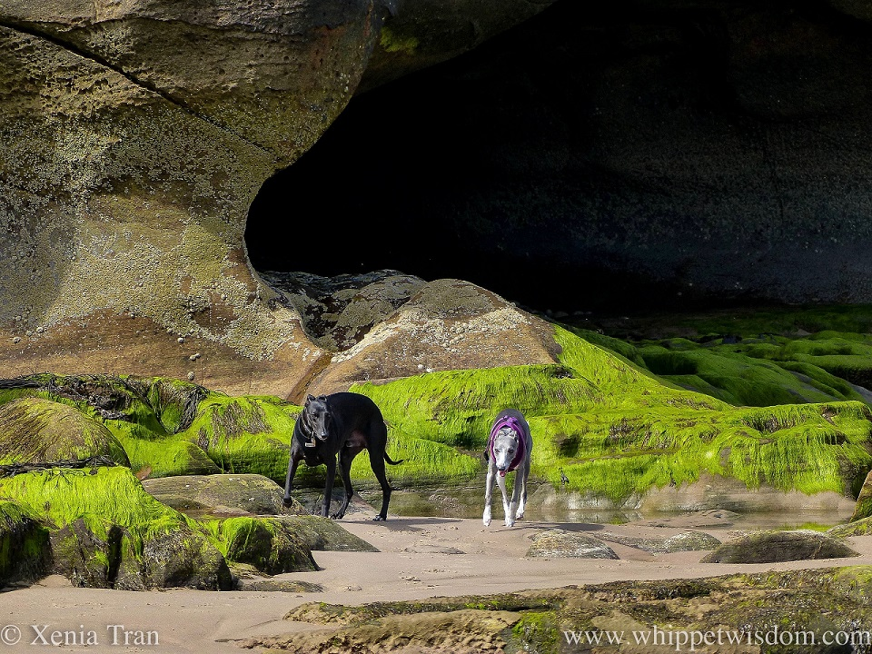 two whippets in front of a sea cave with seaweed dripping from the stones at low tide