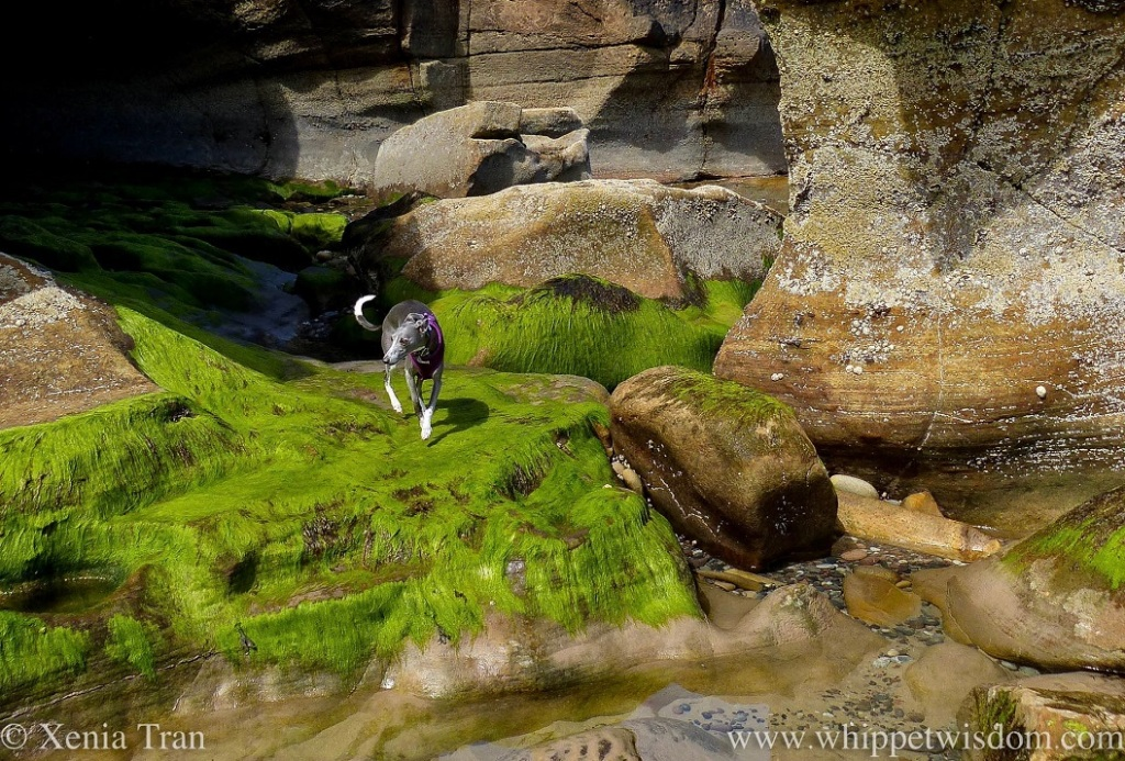 a blue and white whippet on seaweed covered rocks beside a sea cave's entrance