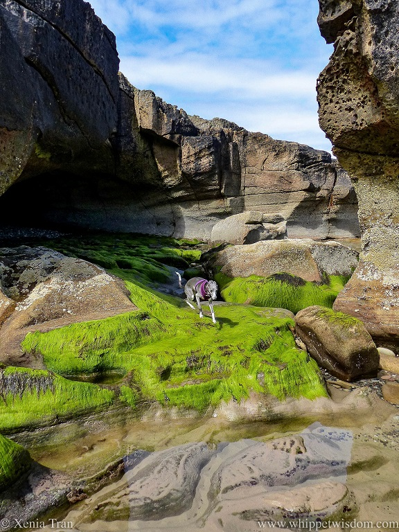 a blue and white whippet in a purple harness running out of a cave onto seaweed covered boulders