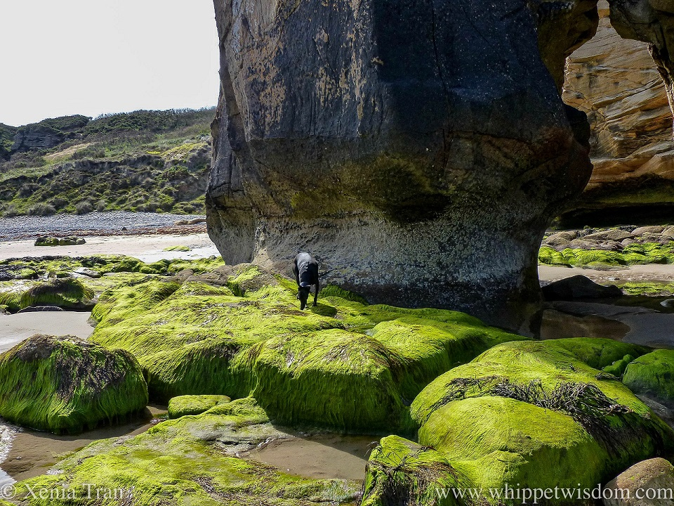 a black whippet sniffing green seaweed on the stones beside a cove