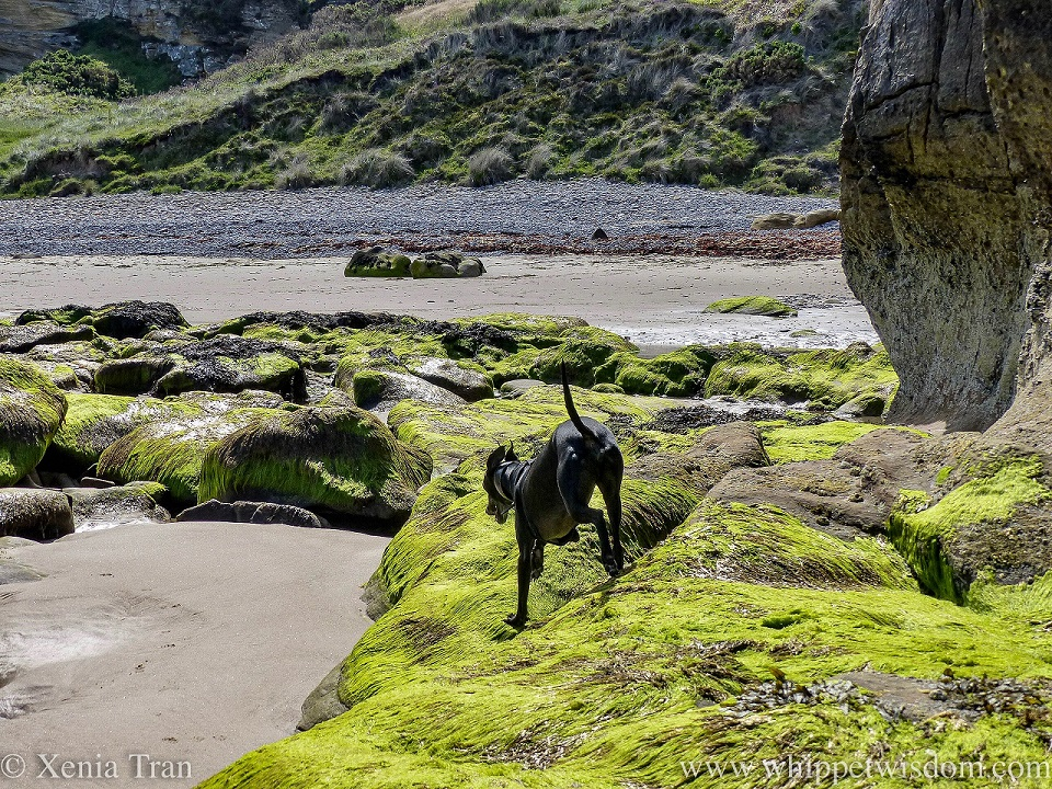 a black whippet leaping off seaweed covered stones beside a cove