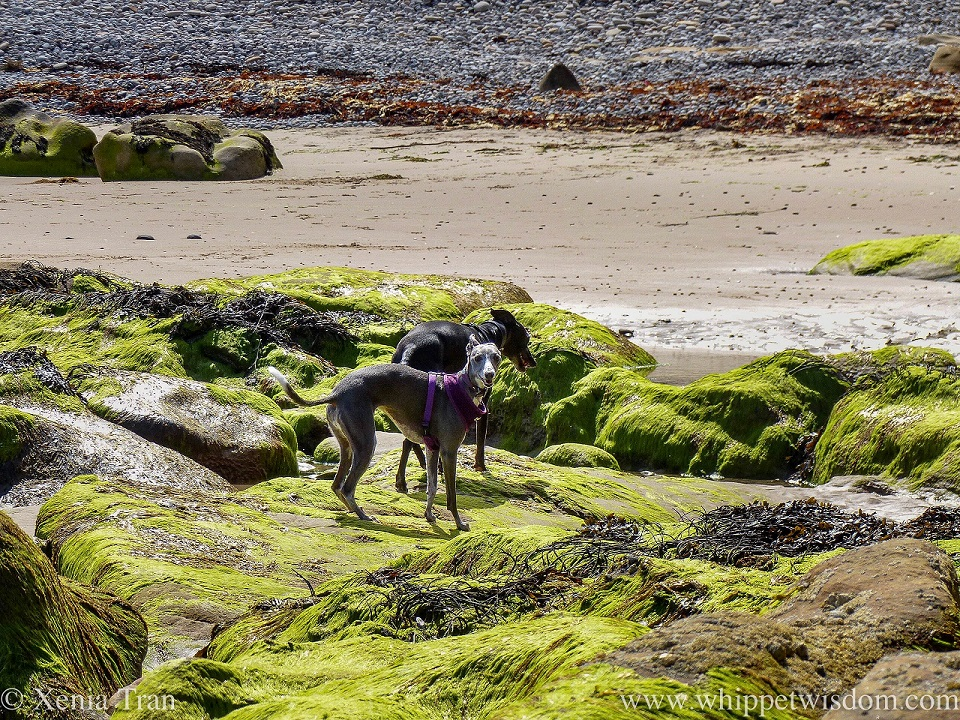 two smiling whippets on large boulders covered in bright green seaweed