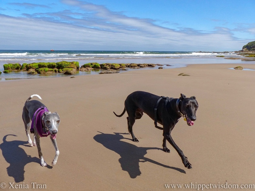 a smiling blue and white whippet and a smiling black whippet striding out across the tidal sands