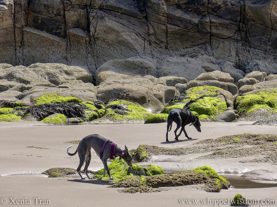 two whippets exploring the tidal sands and rocks beside a large wall of a cliff