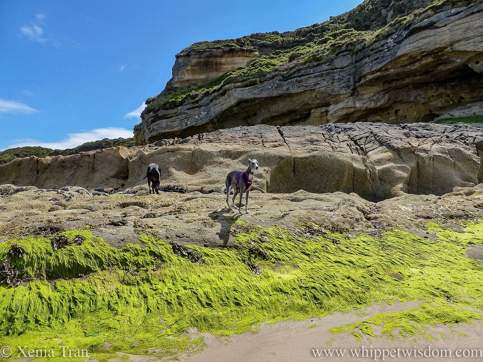 two whippets climbing on an exposed cliff base at low tide