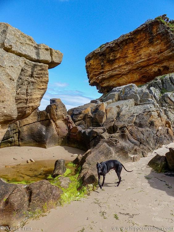 a black whippet on tidal sands beside the rocks