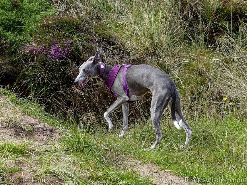 a smiling blue and white whippet turning left onto a path through the dunes