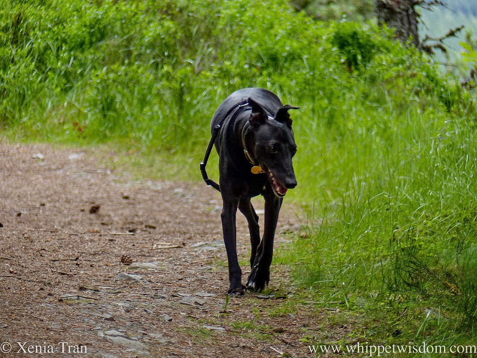 a smiling black whippet walking on a forest trail between long lush grasses