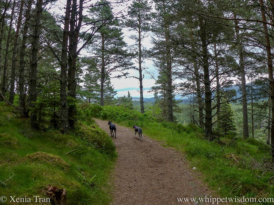 two whippets climbing a forest trail side by side