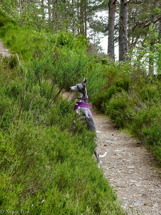 a blue and white whippet standing on her hind legs and peering over the heather