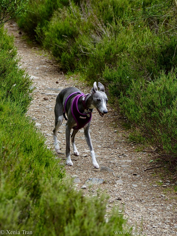 a smiling blue and white whippet walking between heather on the hillside