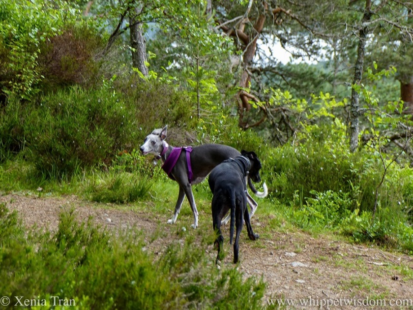 a smiling blue and white whippet and a black whippet on a hill trail