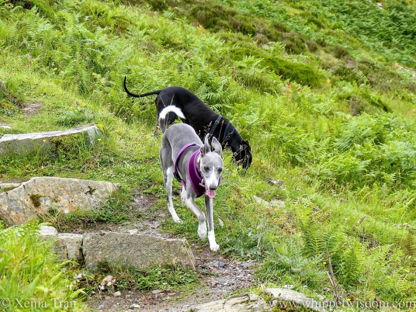 a black whippet sniffing the grass and a smiling blue whippet walking down the trail beside him