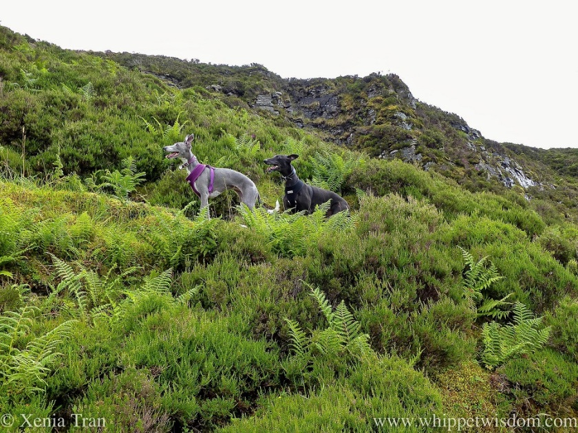 a smiling blue and white whippet and a smiling black whippet side by side on a fern-covered crag