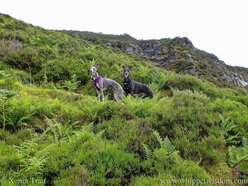 two smiling whippets on a fern-covered hillside